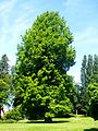 Liancourt (60), séquoia dans le parc municipal au nord du château.jpg
