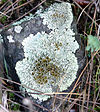 Lichen reproduction1.jpg