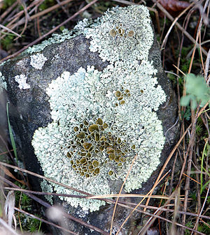 Lichen - Xanthoparmelia sp. with dark-colored reproductive structures (disc-like apothecia) at center, surrounded by a pale coloured vegetative thallus.