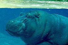 Lightmatter hippo.jpg