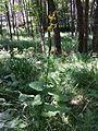 Ligularia sibirica sl9.jpg