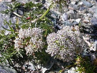 <i>Ligusticum</i> Genus of plants