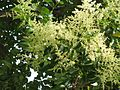 Ligustrum lucidum flowering.jpg