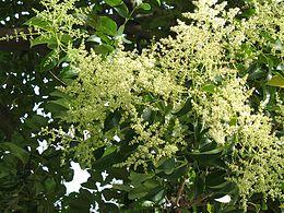 Ligustrum lucidum flowering