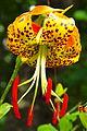 Lilium superbum (Turk's Cap Lily).jpg