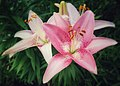 Lilly Blooms (In Explore 06-25-17) - Flickr - vwcampin.jpg