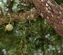 Limonia acidissima syn Limonia elephantum or Fernonia limonia (wood-apple) in Talakona forest, AP W IMG 8334.jpg