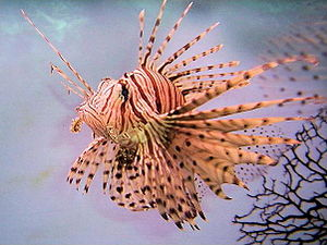 Venomous fish - The beautiful and highly visible lionfish uses venomous barbs around its body as a defence against predators.