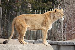 https://upload.wikimedia.org/wikipedia/commons/thumb/d/da/Lioness_12.jpg/240px-Lioness_12.jpg