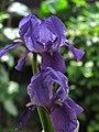 Lirio morado - Lirio común - Cárdeno (Iris germanica) (14367942664).jpg