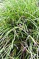 Liriope spicata - Floraison-2.jpg