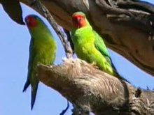 Archivo:Little Lorikeet pikedale.ogv