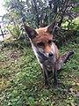 Little fox in Laceno.jpg