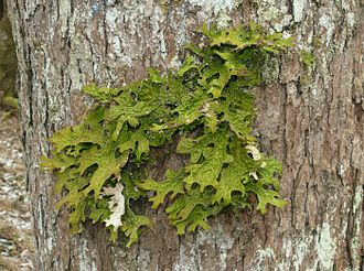 Lichen - Some lichens, like the foliose Lobaria pulmonaria, are sensitive to air pollution.