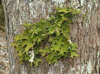 Bioindicator - The lichen Lobaria pulmonaria is sensitive to air pollution.