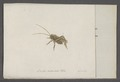 Locusta - Print - Iconographia Zoologica - Special Collections University of Amsterdam - UBAINV0274 066 01 0047.tif