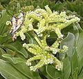 Locusts on Heliotropium foertherianum (14547733570).jpg