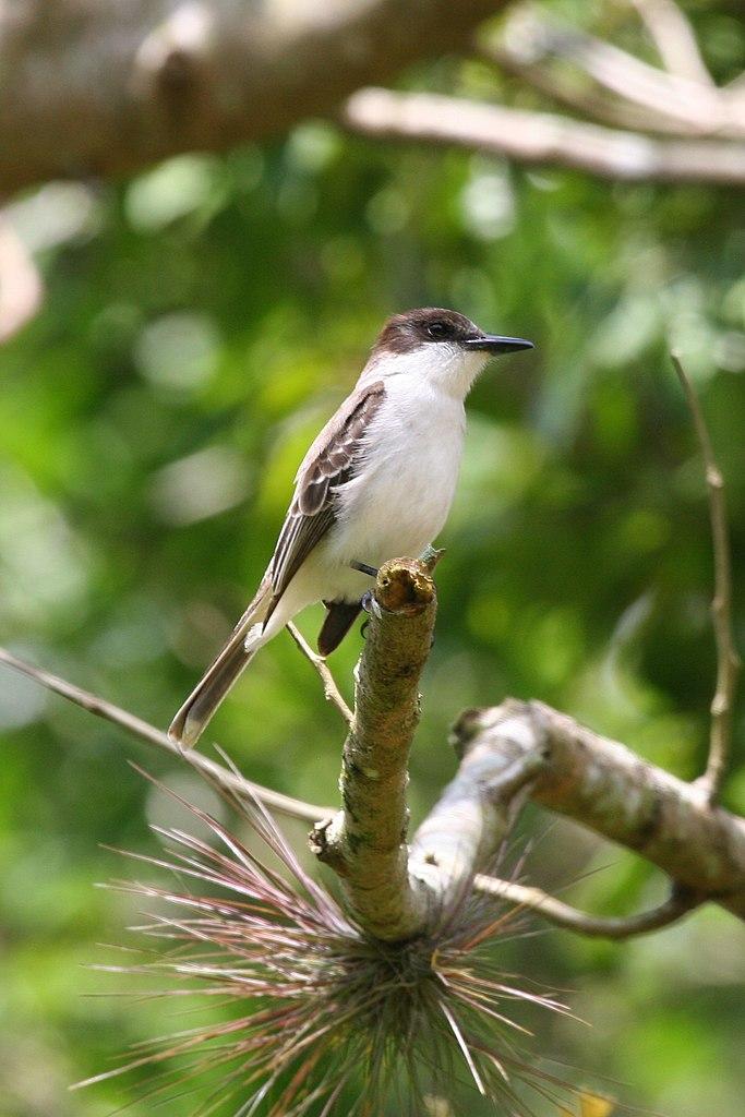File:Loggerhead Kingbird (Tyrannus caudifasciatus) (6499238291 ...