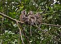 Long tail Macaque family of 5.jpg