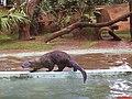 Lontra(Lontra longicaudis) dando um show de habilidade no Zoológico de São Carlos - panoramio.jpg