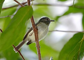 Lophotriccus vitiosus - Double-banded pygmy-tyrant.jpg