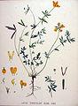 Lotus tenuifolius — Flora Batava — Volume v20.jpg