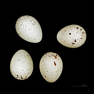 Red crossbill - Eggs from the collections of the MHNT