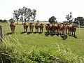 Lucé-sous-Ballon (Sarthe) paysage avec vaches (03).jpg