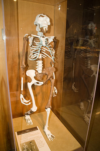 Lucy (Australopithecus) - Lucy skeleton reconstruction at the Cleveland Museum of Natural History