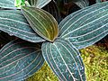 Ludisia discolor - Flickr - treegrow (1).jpg