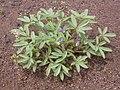Lupinus pusillus (3714585561).jpg