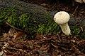 Lycoperdon perlatum (29543445514).jpg
