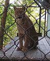 Lynx.lynx.lynx-ZOO.Brno1.jpg