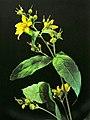 Lysimachia vulgaris20130714 06.jpg