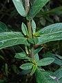 Lythrum salicaria 2017-09-16 3859.jpg
