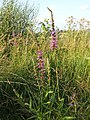 Lythrum salicaria sl9.jpg