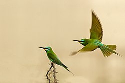 MG 1469 Blue face Bee eater INW 01.jpg