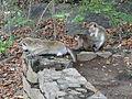Macaca sinica in Dambulla 05.JPG