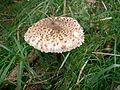 Macrolepiota procera - Coulemelle.JPG