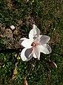 Magnolia.apr.2018.jpg