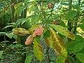 Magnolia cylindrica 2018-10-11 3079.jpg