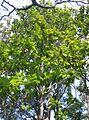 Magnolia grandiflora6.jpg
