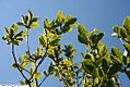Magnolia liliflora Ann 5zz.jpg