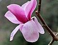 Magnolia sprengeri 'Diva' Flower.JPG