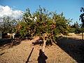 Magraner amb magranes 2013-10-11 08-24.jpg