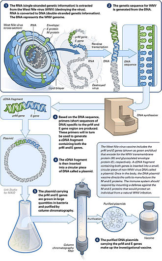 DNA vaccination - The making of a DNA vaccine.