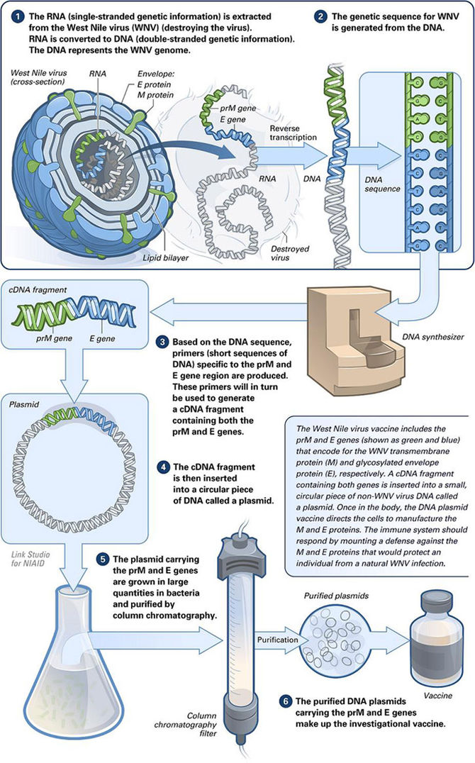 The making of a DNA vaccine.