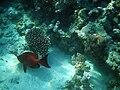 Maldives Bullseye (Priacanthus hamrur).jpg