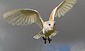 Male Barn Owl 3 (6942373687).jpg