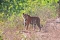 Male Tiger cub.jpg